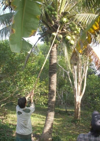 קטיף קוקוס בעזרת ענף במבוק שסכין קשורה בקצהו